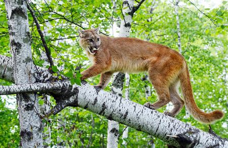 limb: Large mountain lion walking a downed tree limb. Stock Photo