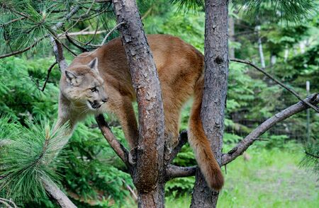 treed: Mountain Lion sitting in a tree.
