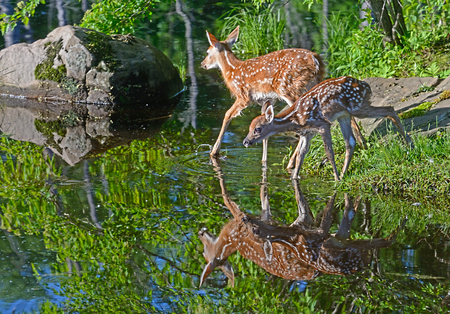 Two White-tailed deer fawns drinking from clear pond.