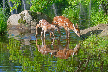 Two White-tailed deer fawns show water reflections.