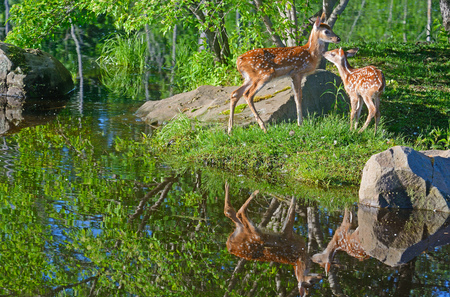 whitetailed: Water reflections of two baby White-tailed Deer fawns, Stock Photo