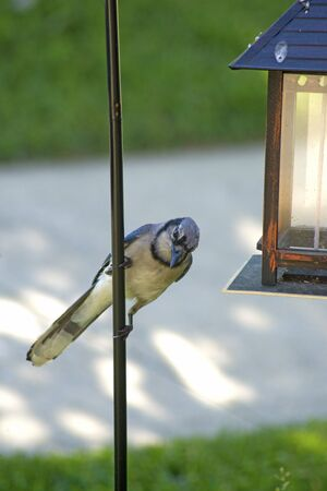 bluejay: Bluejay Bird hanging on an iron post.