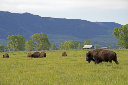 thundering: Buffalo Herd traveling through green grass in Yellowstone National Park. Stock Photo
