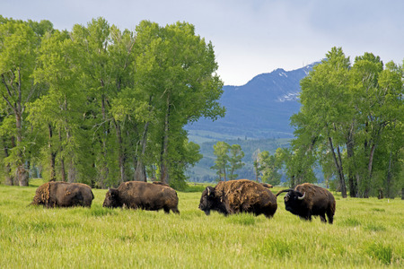 thundering: Bison Herd traveling through green field in Yellowstone.