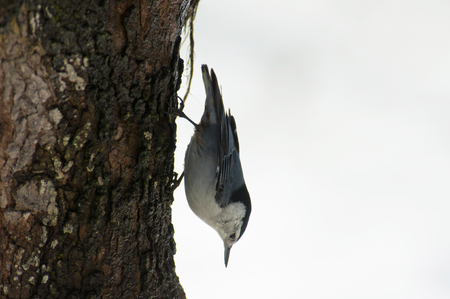 downward: Nuthatch Bird hangs downward on a tree trunk.