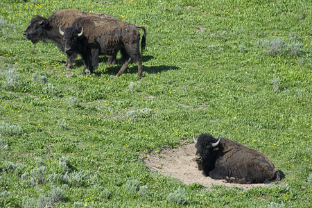 thundering: Bison lies in a wallow among green grass in Yellowstone.