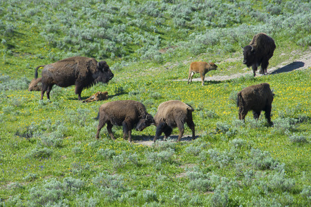 thundering: A day in the social life of a Bison.