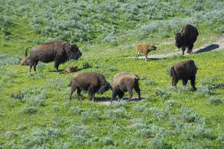 vida social: Un día en la vida social de un bisonte. Foto de archivo
