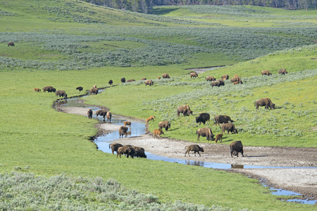 thundering: Scenic herd of Bison drinking in Yellowstone.