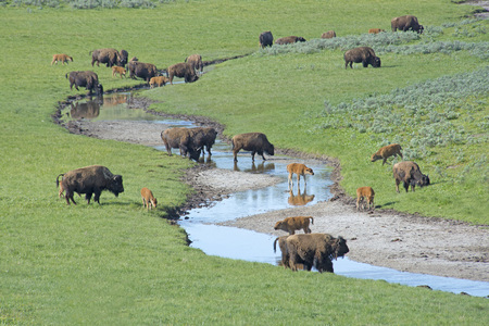 thundering: Herd of Bison running free in Yellowstone National Park.