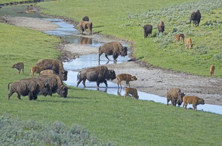thundering: Closeup Bison herd drinks from a small water branch.