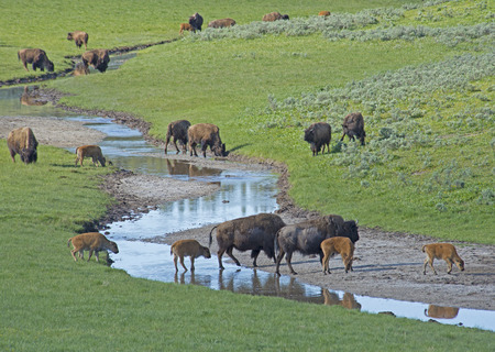 thundering: Herd of Bison drink from a small stream. Stock Photo