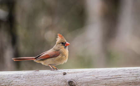 female cardinal: Female Cardinal perched on a wooden log.