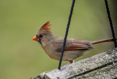 female cardinal: Close up female Cardinal perched on a bird feeder. Stock Photo