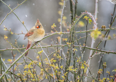 female cardinal: Female Cardinal perched in roses on a snowy day.