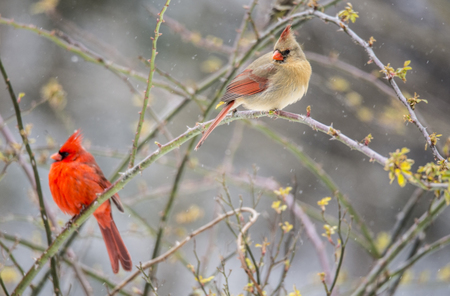 female cardinal: Male and Female Cardinal Birds perched on a rose bush. Stock Photo