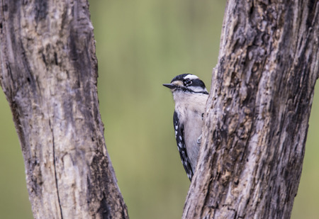 downy woodpecker: Downy Woodpecker perched on the side of a tree. Stock Photo