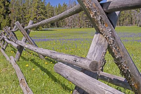 fenceline: Split rail fence and wildflower in Colorado.