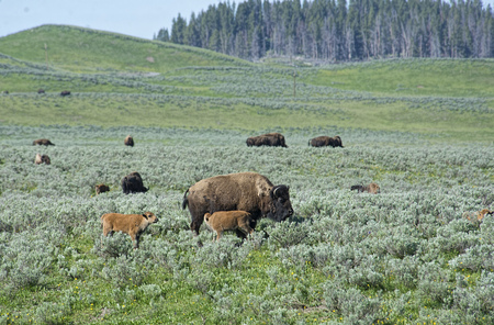covered fields: Scenic fields of Yellowstone covered with Bison.