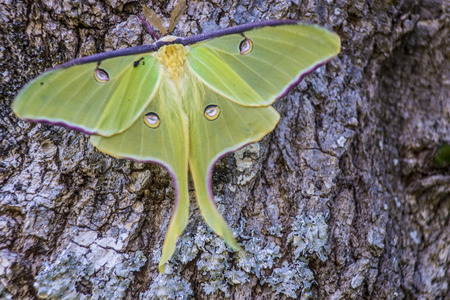 eyespot: Luna Moth perched on the side of a tree. Stock Photo
