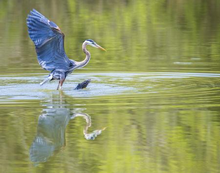 beine spreizen: Great Blue Heron with wings spread.
