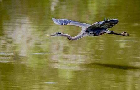 blue heron: Great Blue Heron flying over pond.
