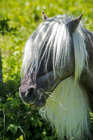 shetland pony: Head shot of Black Shetland Pony with long white mane.