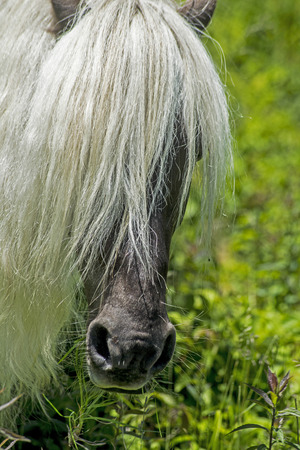 shetland pony: Head shot of Shetland Pony with long mane over eyes. Stock Photo