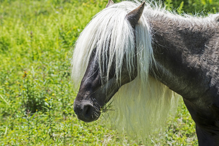 shetland pony: Head shot of black Shetland Pony with long hair.