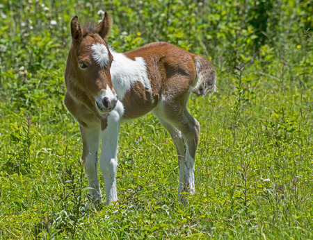 shetland pony: Baby Palamino Shetland Pony in green grass. Stock Photo