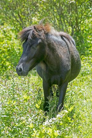 Black Shetland Pony in green grass