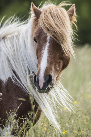 shetland pony: Closeup Shetland Pony with long mane Stock Photo