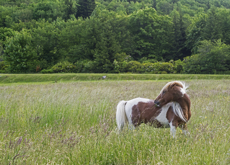 shetland pony: Shetland Pony in field of grass.