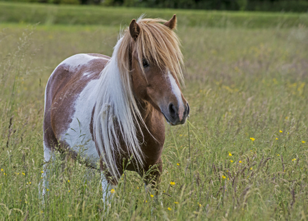 Palamino Shetland Pony in field of grass. Stock Photo
