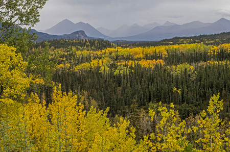 Yellow leaves and evergreens in Denali National Park.