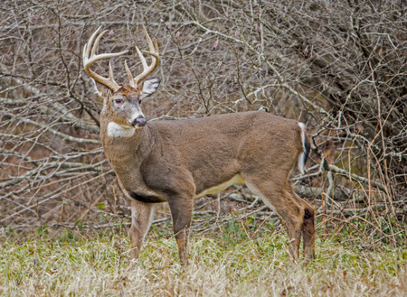 Large White Tailed Deer standing at attention.