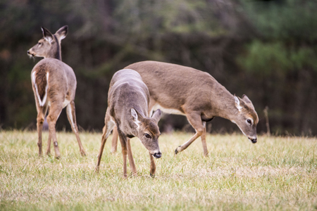 Three young White Tailed Deer Bucks playing together. Stock Photo