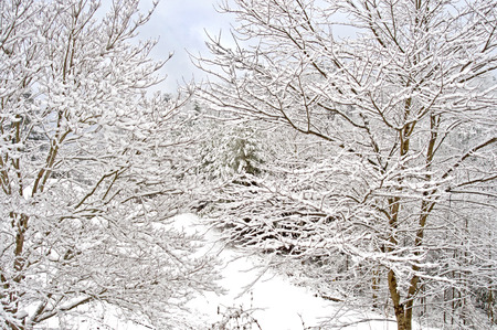 Overlapping trees in snow.