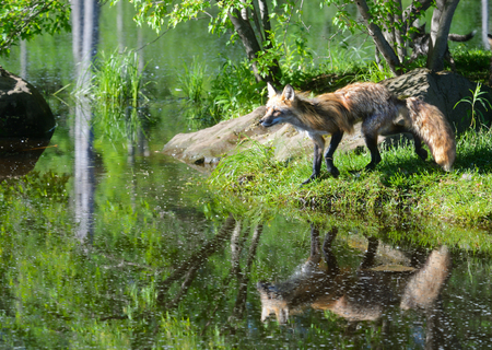 Young Red Fox shows his reflection in water. Stock Photo