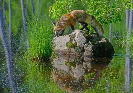 Red Fox climbs on a boulder in a clear lake. Stock Photo