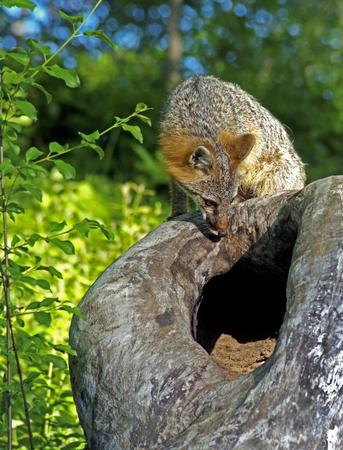Gray Fox stares down into his den. Stock Photo