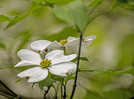 smokies: Closeup Dogwood blooms surrounded with green leaves. Stock Photo
