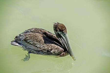 Brown Pelican fishing in ocean waters.
