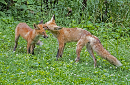 Red Fox mother washes her babys ear.