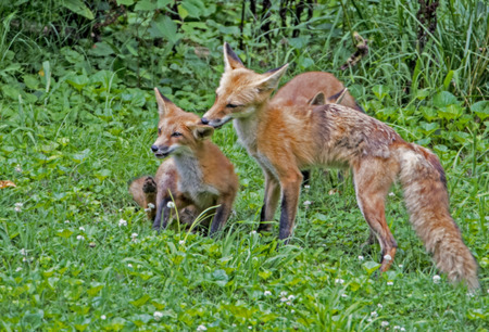 Red Fox family surrounded with greenery.