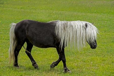 Shetland Pony with long mane walks in green grass.