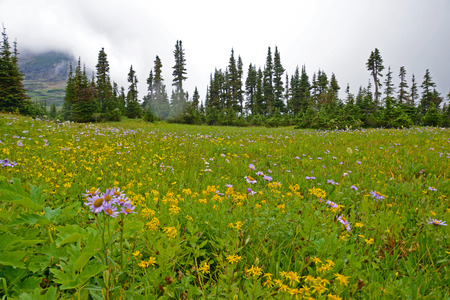 Fields of wildflowers bloom in Glacier National Park. Stock Photo