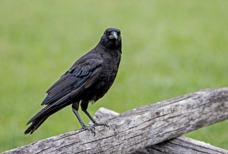 Black Crow sitting on a split rail fence.