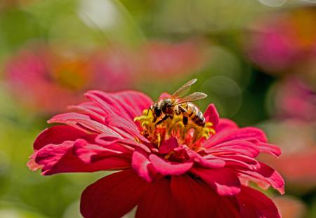A honeybee feeds from the center of a pink Zinnia.