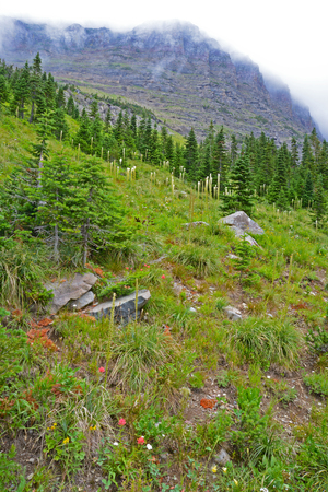 Vertical-Wildflowers and fog in Glacier National Park.